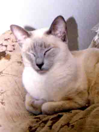 Blind Siamese cat